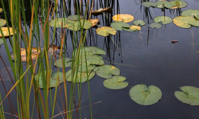 water lilies 2775789 1280 1000x600