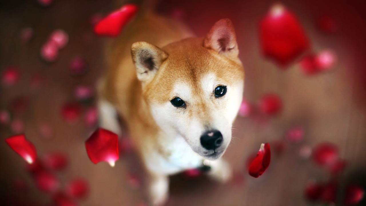 Dogecoin Rival Shiba Inu Spikes in Value While DOGE Prices